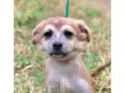 Adopt ARIEL a Tan/Yellow/Fawn Shepherd (Unknown Type) / Mixed dog in Pittsburgh