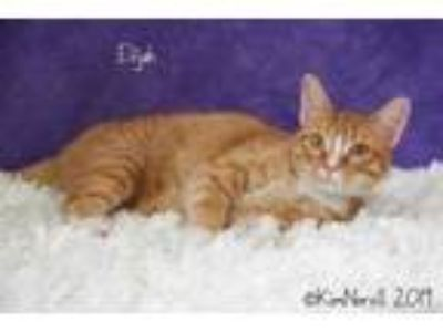Adopt Elijah a Orange or Red Domestic Shorthair / Domestic Shorthair / Mixed cat