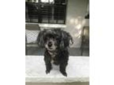 Adopt Babette a Black Poodle (Miniature) / Mixed dog in St.