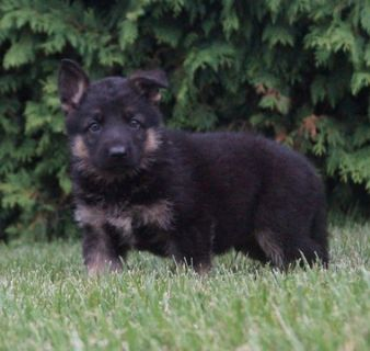 German Shepherd Dog PUPPY FOR SALE ADN-89376 - Amazing AKC German  Shepherd Puppies