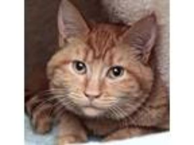 Adopt Lizzie a Orange or Red Domestic Shorthair / Domestic Shorthair / Mixed cat