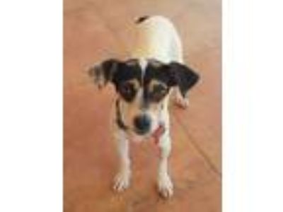 Adopt Feather a Rat Terrier