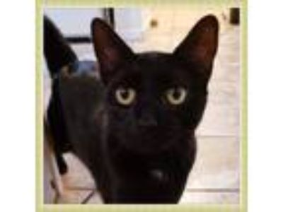 Adopt *Polo a All Black American Shorthair / Mixed cat in Yonkers, NY (23086413)