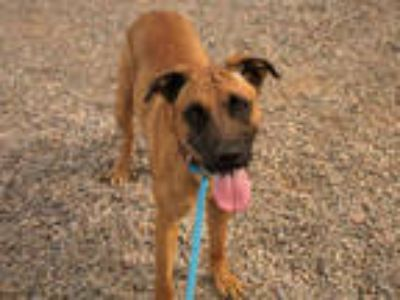 Adopt SIMON a Brown/Chocolate Dutch Shepherd / Mixed dog in Mesa, AZ (24963220)