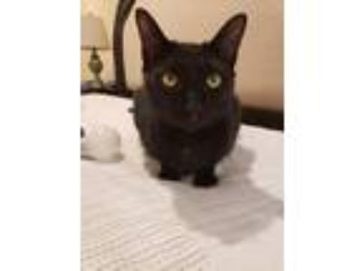 Adopt Benny (aka Zaxsby 6) a Domestic Shorthair / Mixed (short coat) cat in