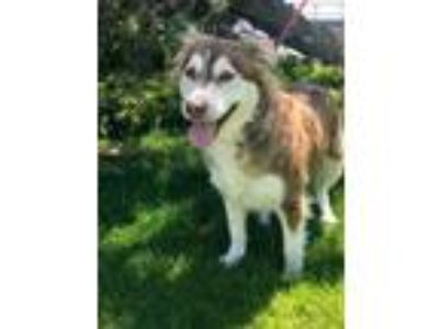 Adopt PIPPY a Brown/Chocolate Husky / Mixed dog in Tangent, OR (25226234)