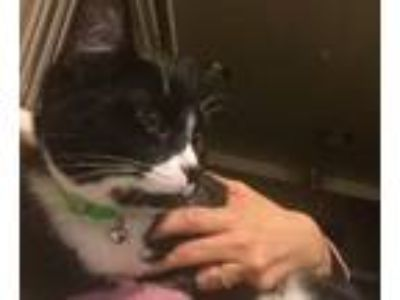 Adopt Gene a Black & White or Tuxedo Domestic Shorthair / Mixed cat in Lincoln