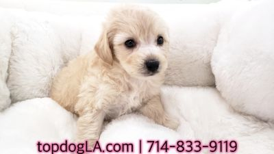 Poodle (Standard)-Maltese Mix PUPPY FOR SALE ADN-71162 - Maltipoo Male Zetro