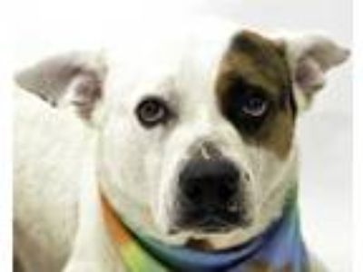Adopt EOR a White - with Black American Pit Bull Terrier / Labrador Retriever /