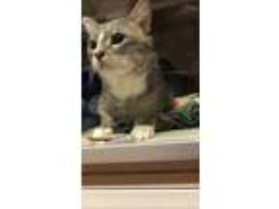 Adopt June a Gray or Blue Domestic Shorthair / Domestic Shorthair / Mixed cat in