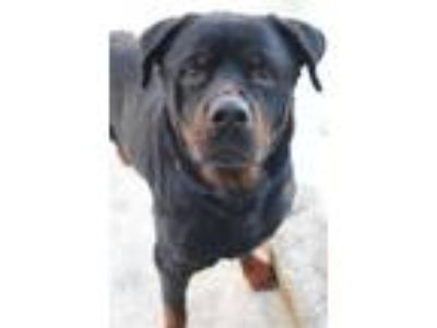 Adopt Pittsburgh in NH a Rottweiler