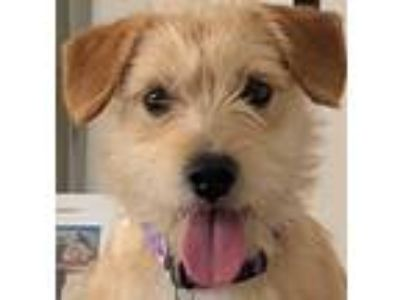 Adopt Cecil a Red/Golden/Orange/Chestnut - with White Terrier (Unknown Type