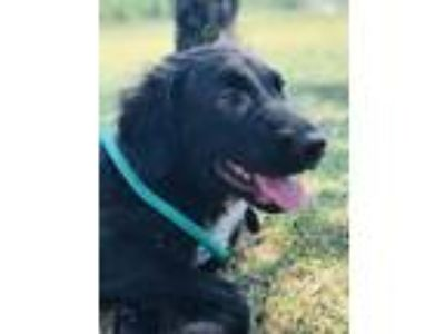 Adopt Goose a Black - with White Border Collie / Labrador Retriever / Mixed dog