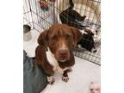 Adopt Stony a Hound, Labrador Retriever