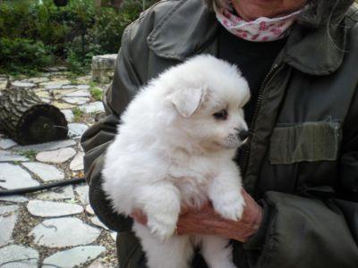 American Eskimo Dog PUPPY FOR SALE ADN-99009 - 3 Girls and 1 Boy American Eskomo Puppies