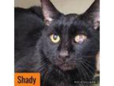 Adopt Shady a Domestic Short Hair