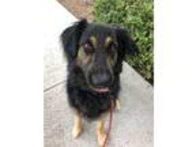 Adopt Brie a Black - with Tan, Yellow or Fawn Shepherd (Unknown Type) / Labrador