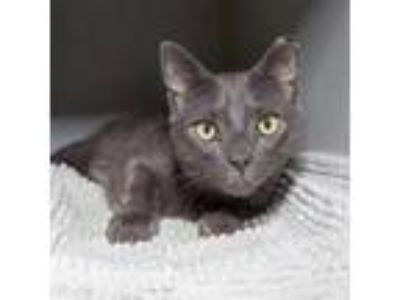 Adopt Manny a Gray or Blue Domestic Shorthair / Mixed cat in Brooklyn