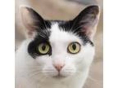 Adopt Bitsy a White Domestic Shorthair cat in Middletown, RI (25531912)