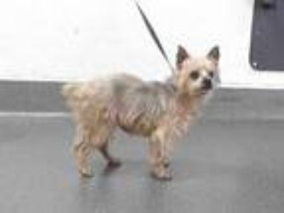 Adopt 19-21923 a Yorkshire Terrier