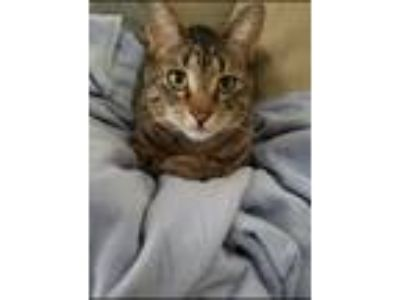 Adopt Maras a Brown Tabby Domestic Shorthair cat in Meriden, CT (25320178)