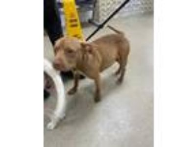 Adopt 41890079 a Brown/Chocolate American Pit Bull Terrier / Mixed dog in Fort