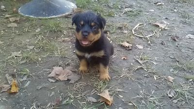 Rottweiler PUPPY FOR SALE ADN-105101 - Halloween AKC German Bloodline Rottweiler Puppy039s