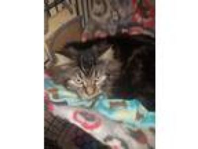 Adopt Clyde a Brown Tabby Domestic Longhair (long coat) cat in Walla Walla