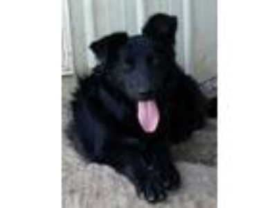 Adopt Kodiak a Border Collie, Mixed Breed