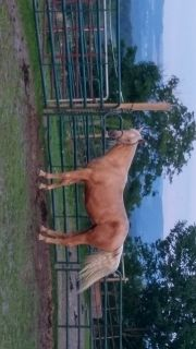 3yr old 5panel n/n palomino Grandson of Hollywood Dunit