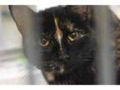 Adopt HIAWATHA a Tortoiseshell Domestic Shorthair / Mixed (short coat) cat in