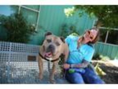 Adopt Groot a American Staffordshire Terrier / Mastiff / Mixed dog in