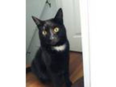 Adopt Hershey a Domestic Short Hair