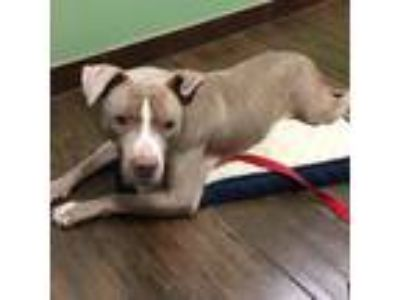 Adopt Aria a American Staffordshire Terrier, Pit Bull Terrier