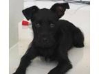 Adopt Loki a Black Standard Schnauzer / Terrier (Unknown Type