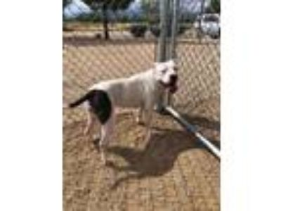 Adopt Mama Zoey a American Staffordshire Terrier
