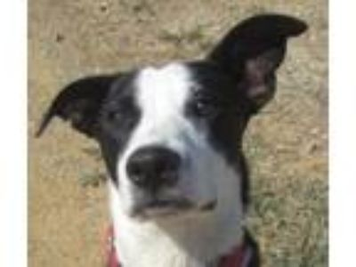 Adopt Cookie a Border Collie