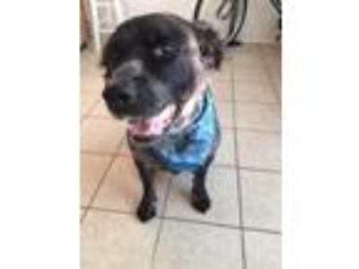 Adopt MoMo a Gray/Blue/Silver/Salt & Pepper Australian Cattle Dog / Labrador