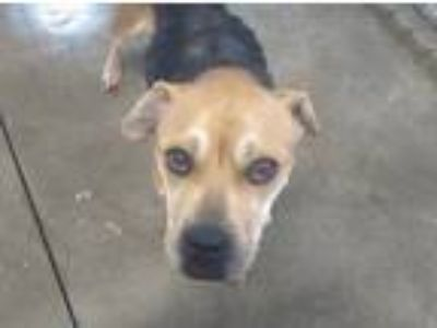 Adopt Laurie a Brown/Chocolate - with White Mixed Breed (Medium) / Mixed dog in
