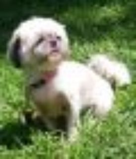 Assata Havanese - Shih Tzu Dog