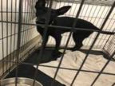 Adopt OREO a Labrador Retriever, Mixed Breed
