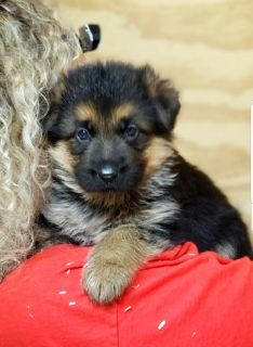 West German Showline German shepherd pups