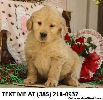 B%100 Golden retriever puppies for sale