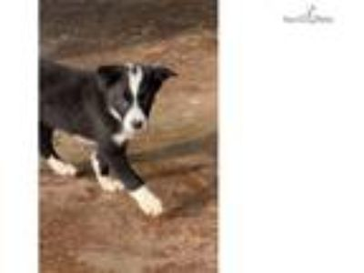 ABCA and AKC border collie puppy
