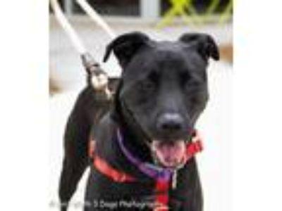 Adopt Onyx a Labrador Retriever