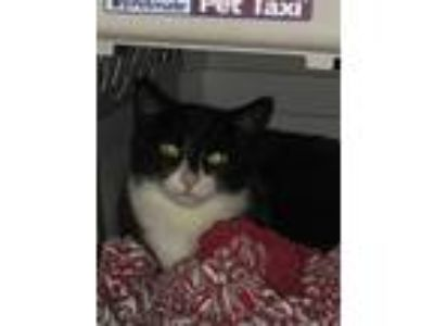 Adopt Evie a Black & White or Tuxedo Domestic Shorthair (short coat) cat in