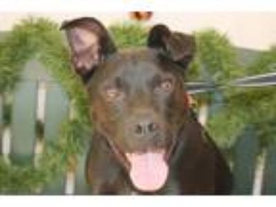 Adopt Zeus a Black - with White Mastiff / Mixed dog in Salem, MA (24271116)