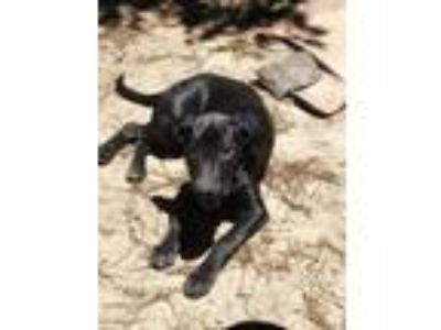 Adopt Ruby - Adoption Pending! a Labrador Retriever