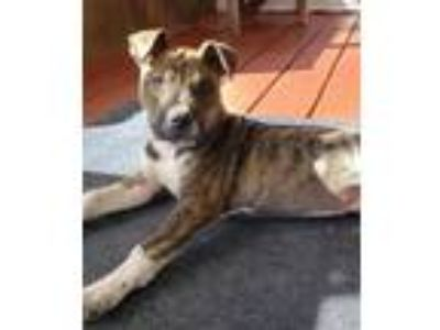 Adopt Riley a American Staffordshire Terrier / Boxer / Mixed dog in St Helens