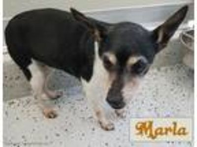 Adopt Marla a Tricolor (Tan/Brown & Black & White) Rat Terrier / Mixed dog in